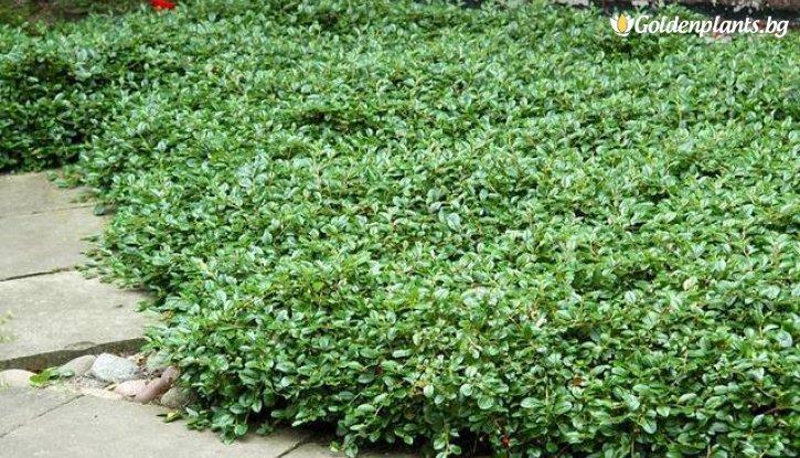 Снимка Котонеастър Дамери Зелен килим /Cotoneaster Dammeri Green Carpet/
