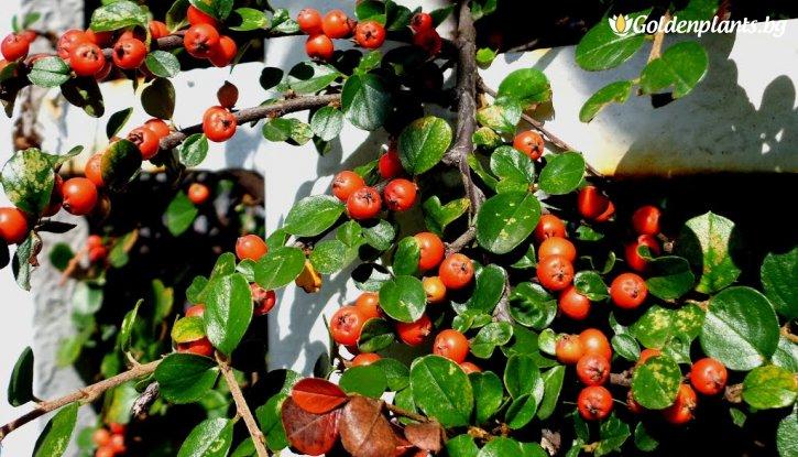 Снимка Котонеастър Мултифлора /Cotoneaster Multiflora/