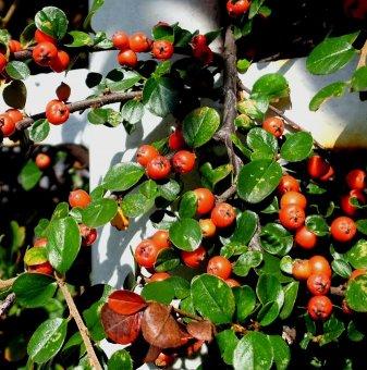 Котонеастър Мултифлора /Cotoneaster Multiflora/