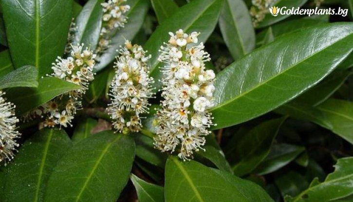 Снимка Лавровишна /Laurocerassus Officinalis/