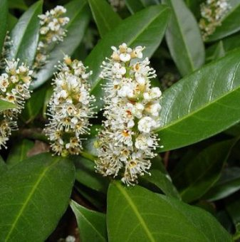Лавровишна /Prunus laurocerasus Caucasica/
