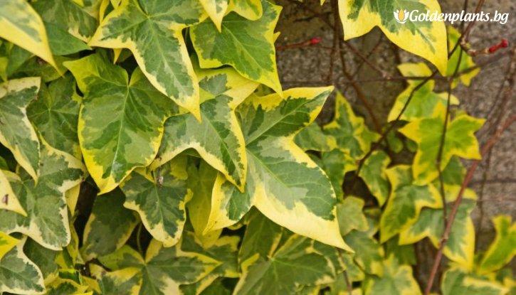 Снимка Бръшлян Жълто - Зелен / Hedera /