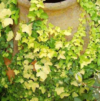 Бръшлян Жълто - Зелен / Hedera /...