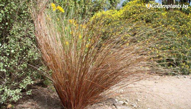 Снимка Карекс кафяв /Carex Buchananii/