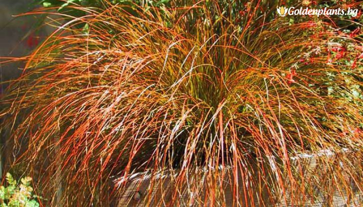 Снимка Карекс кафявo-зелен /Carex Testacea/