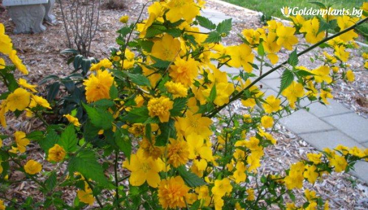Снимка Керия Японика Pleniflora /Kerria Japonica Pleniflora/