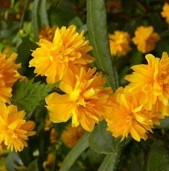 Маргарита бяла /Leucanthemum LaCrosse (Chrysanthemum)/