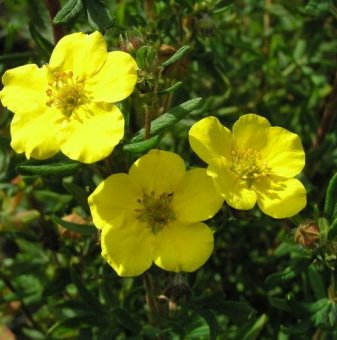 Потентила Жълта /Potentilla fruticosa/