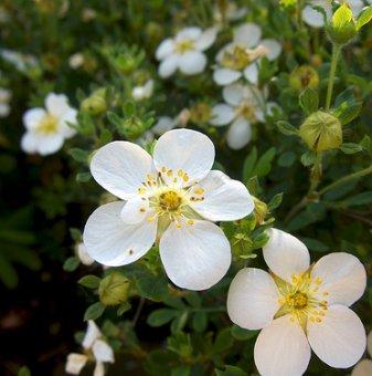 Потентила Бяла /Potentilla fruticosa/