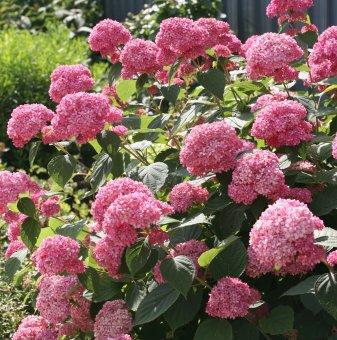 Хортензия розова / Hydrangea Аrborescens /...