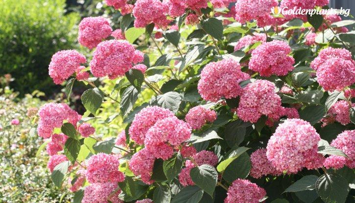 Снимка Хортензия розова / Hydrangea Аrborescens /