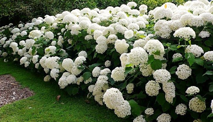 Снимка Хортензия бяла / Hydrangea Аrborescens /