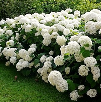 Хортензия бяла / Hydrangea Аrborescens /...