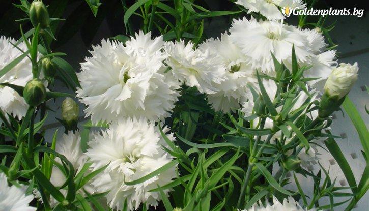 Снимка Карамфил бял / Dianthus /