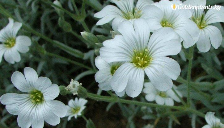 Снимка Церастиум / Рожец  / Cerastium Tomentosum /