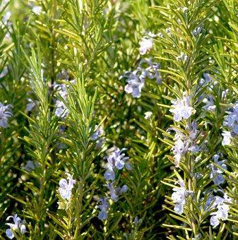 Розмарин зелен / Rosmarinus Officinalis /