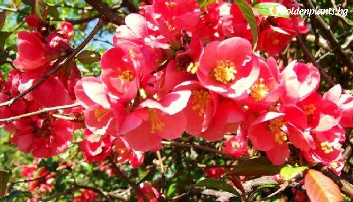 Снимка Японска дюля / Цидония Розова / Cidonia /
