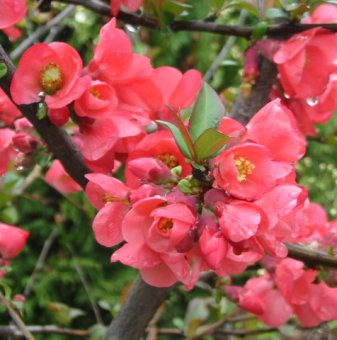 Японска дюля - Цидония Розова / Cidonia /...