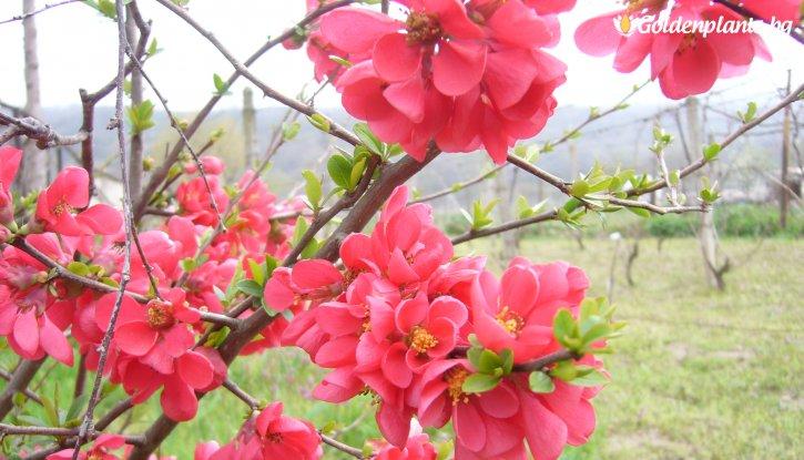 Снимка Японска дюля - Цидония Розова / Cidonia /