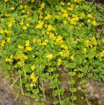 Физокарпус Голд /Physocarpus Gold/