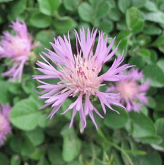 Снимка Метличина красива / Centaurea Bella /...