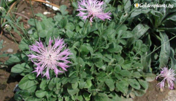 Снимка Метличина / Centaurea Bella /