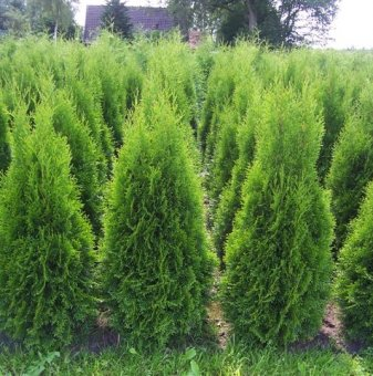 Туя смарагд 80-90см. /Thuja Occidentalis Smaragd/...