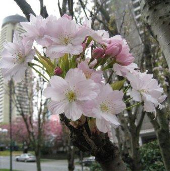Снимка Японска вишна Amanogawa / Prunus Amanogawa...