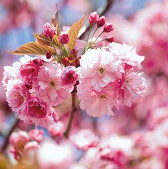 Японска вишна / Prunus Kanzan /