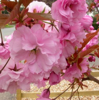Снимка Японска вишна Kanzan / Prunus Kanzan ...