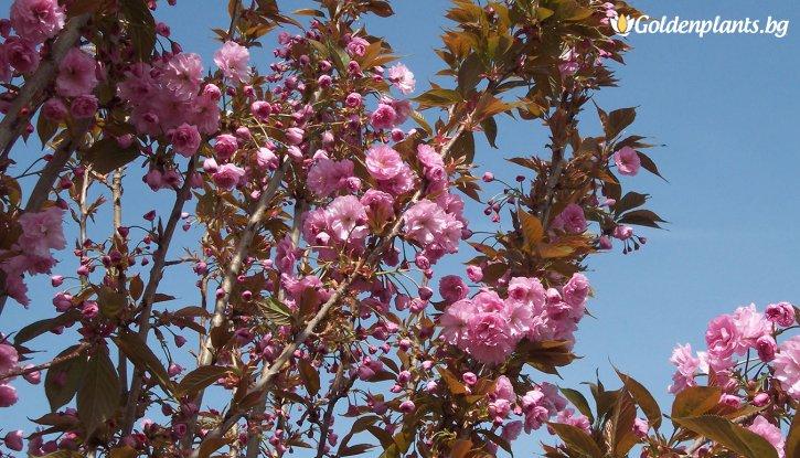 Снимка Японска вишна Kanzan / Prunus Kanzan