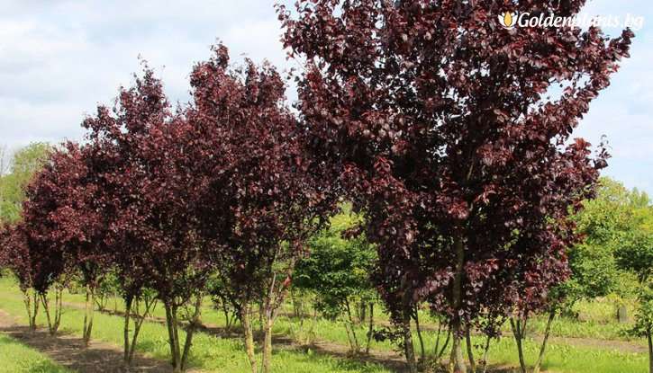 Снимка Червенолистна слива / Prunus Nigra