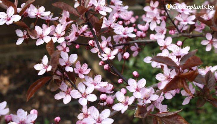 Снимка Червенолистна слива /Prunus Nigra/