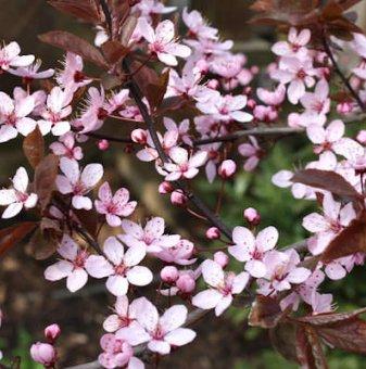 Червенолистна слива / Prunus Nigra цена с намаление!..