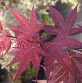 Снимка Японски клен Atropurpureum / Acer Atropurpureum - топ цена...