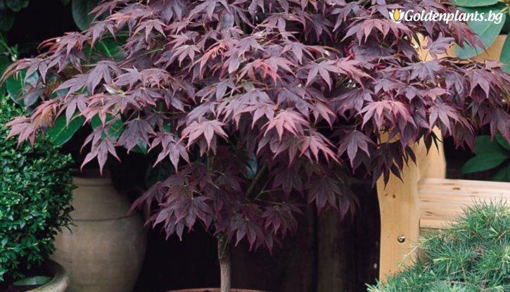 Снимка Японски клен Atropurpureum / Acer Atropurpureum - топ цена