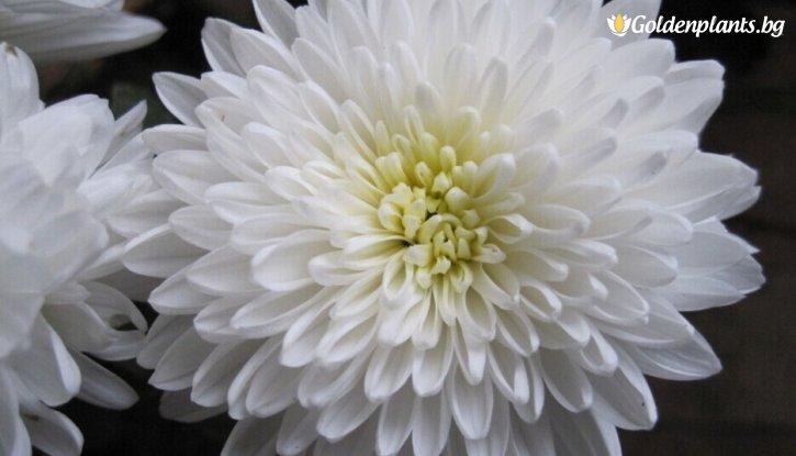 Снимка Кълбовидна Хризантема бяла / Chrysanthemum /