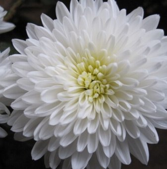Снимка Кълбовидна Хризантема бяла / Chrysanthemum /...