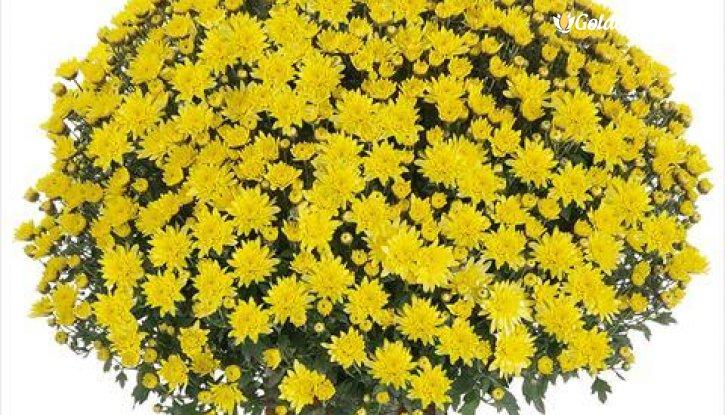Снимка Кълбовидна Хризантема жълта / Chrysanthemum /