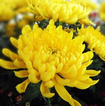 Снимка Кълбовидна Хризантема жълта / Chrysanthemum /...