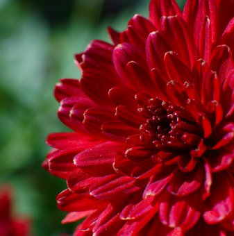 Снимка Кълбовидна Хризантема червена / Chrysanthemum /...