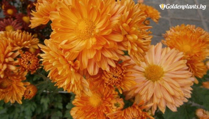 Снимка Кълбовидна Хризантема оранжева / Chrysanthemum /