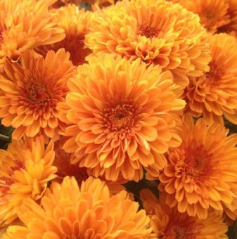 Снимка Кълбовидна Хризантема оранжева / Chrysanthemum /...