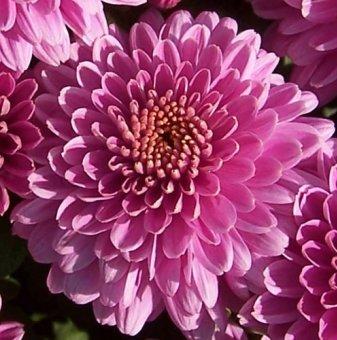 Снимка Кълбовидна Хризантема лилава / Chrysanthemum /...