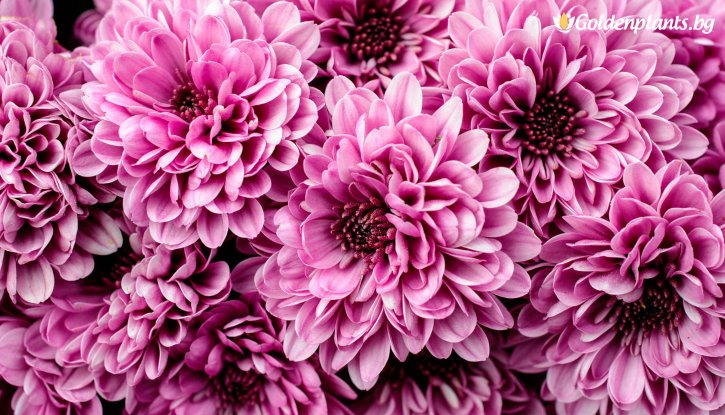 Снимка Кълбовидна Хризантема лилава / Chrysanthemum /