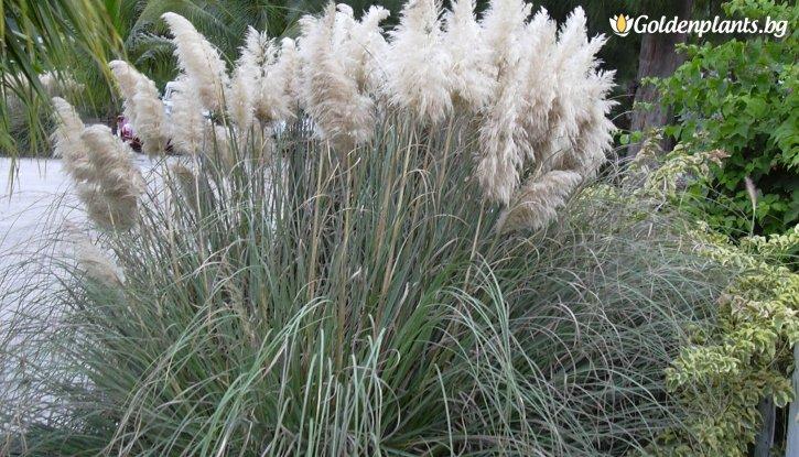 Снимка Кортадерия, Пампаска трева бяла / Cortaderia White /