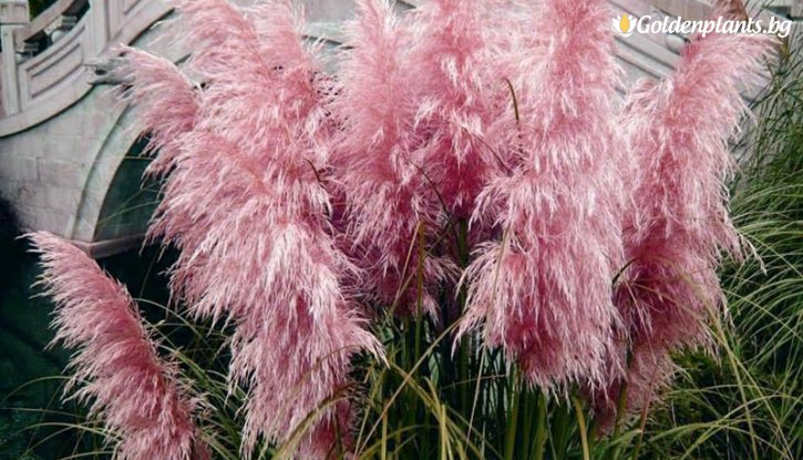 Снимка Кортадерия, Пампаска трева розова / Cortaderia /