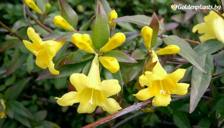 Снимка Жасмин  жълт 40-50 см /Jasminum/