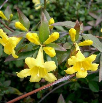 Жасмин  жълт 40-50 см /Jasminum/...