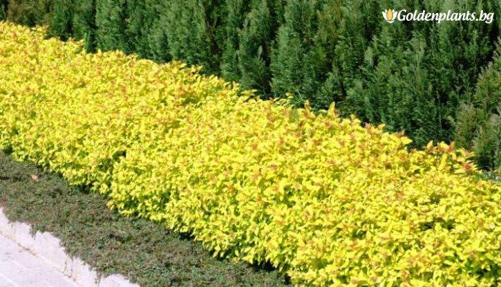 Снимка Японска спирея 15-20 см. / Golden princess /